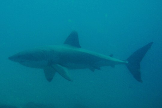 Great white shark in Mozambique