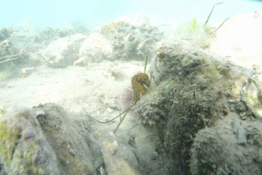 Knysna seahorse in hiding