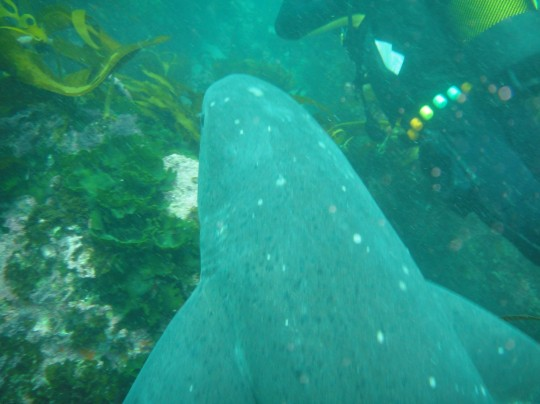 Sevengill cowshark that swam underneath me on a dive