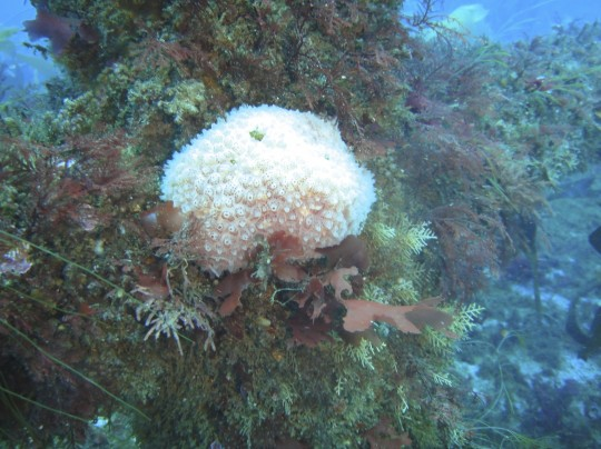 Soft coral on the BOS 400