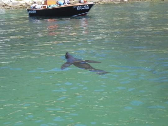 Seal at Miller's Point slipway