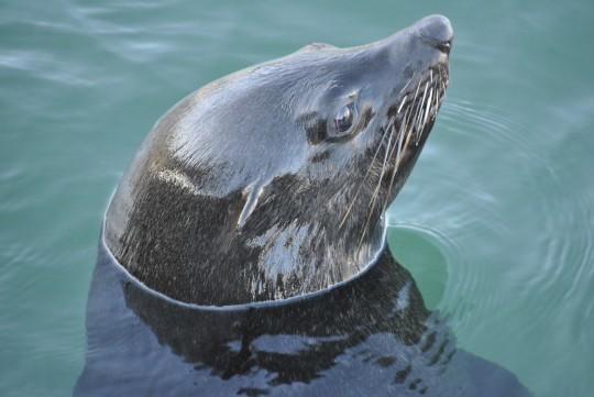 Seal in Kalk Bay harbour