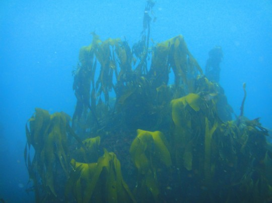 Lush kelp in the Atlantic