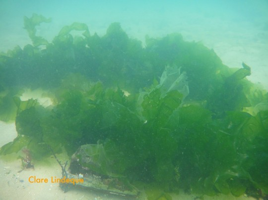 The artificial reef, covered in sea lettuce