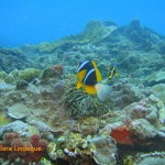 Anemone fish on the defensive