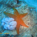Bright sea star