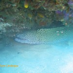 Another honeycomb moray