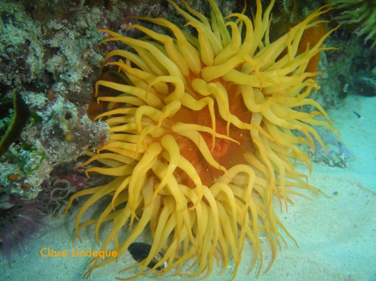 Sea life: False plum anemone