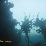 Kelp near the surface