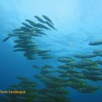 Bluebanded snapper in formation