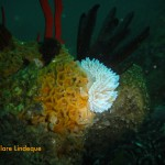 Silvertip nudibranch