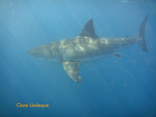 3.5 metre female great white shark