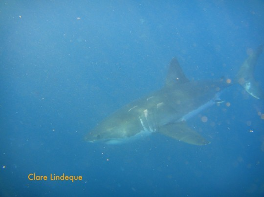 This distinctively scarred shark stayed with us for a while