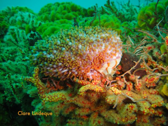 Walking anemone engaged in eating its favourite food (multicoloured sea fan)