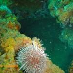 Klipfish sheltering behind a Cape urchin