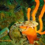 Speckled klipfish and sea fan