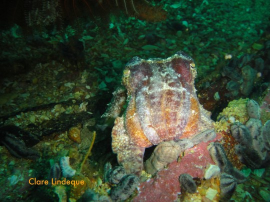 Beautiful resting cuttlefish next to the wreck