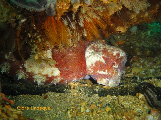 One of the cuttlefish we found next to the wreck