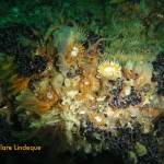 Anemones, brittle stars, feather stars and mussels encrust the wreckage