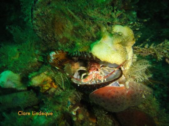 Tiny West coast rock lobster in a mussel shell