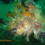 Invertebrate cluster, with brittle stars