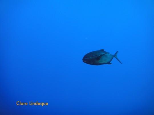 Sea life: Bluefin tuna