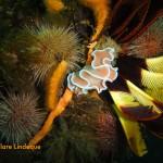 Frilled nudibranch