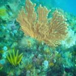 Sinuous sea fan on the reef