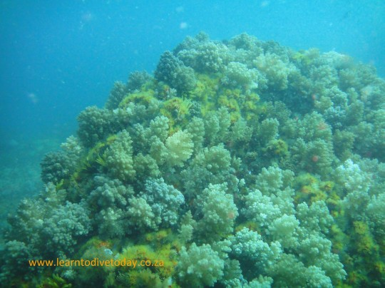 Lots of cauliflower soft coral on top of the reef