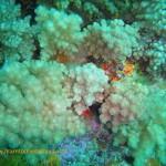 Cauliflower soft coral