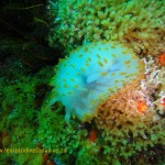 A blue gas flame nudibranch