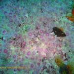 Strawberry sea anemones