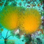 Sunburst soft coral