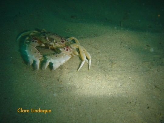 A masked crab evades my flash on the sand