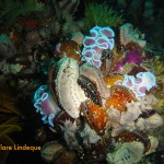 Frilled nudibranchs
