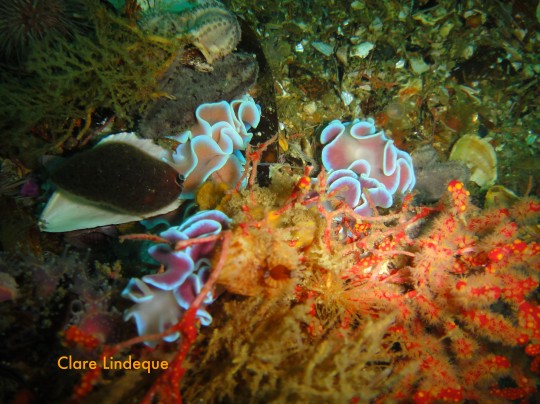 A gathering of frilled nudibranchs