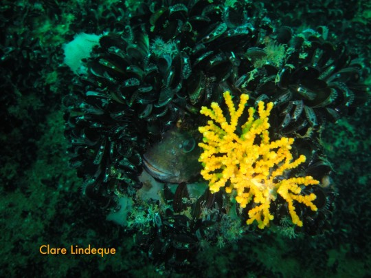 Blenny hiding on the Aster