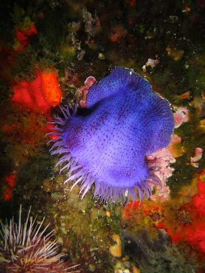 Knobbly anemone on Photographer's Reef