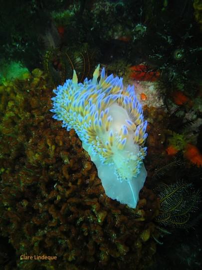 Blue gas flame nudibranch at Roman Rock