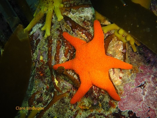 A red sea star... count the legs!