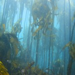 Kelp forest at Windmill