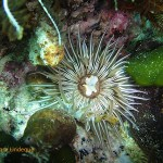 Striped anemone at WIndmill