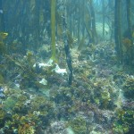 Healthy kelp forests with invertebrates beneath at Windmill