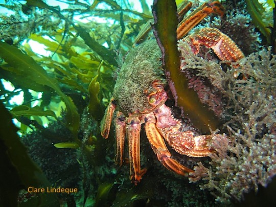 A Cape rock crab in the kelp