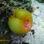 A false plum anemone with tentacles retracted