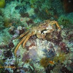 A Cape rock crab on the move