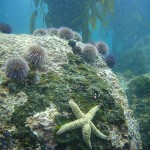 Urchins and a sea star cling to a rock at Windmill