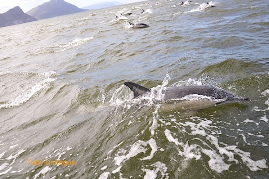 Dolphins in False Bay