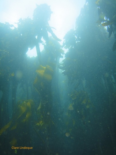 Article: Exploring False Bay's kelp forests