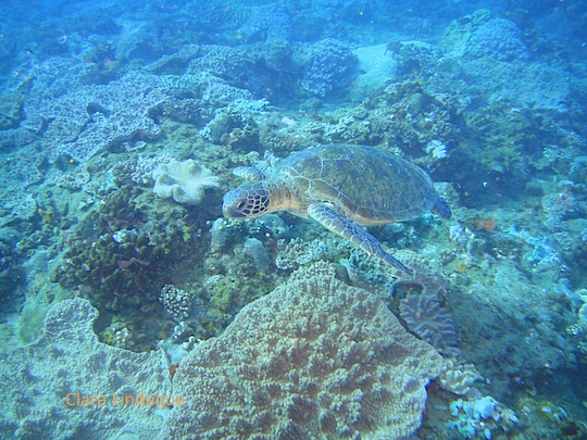 Loggerhead turtle at Drop Zone in southern Mozambique